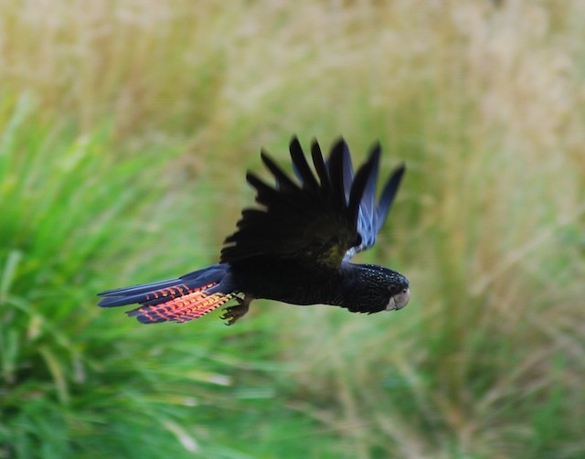 black cockatoo-2