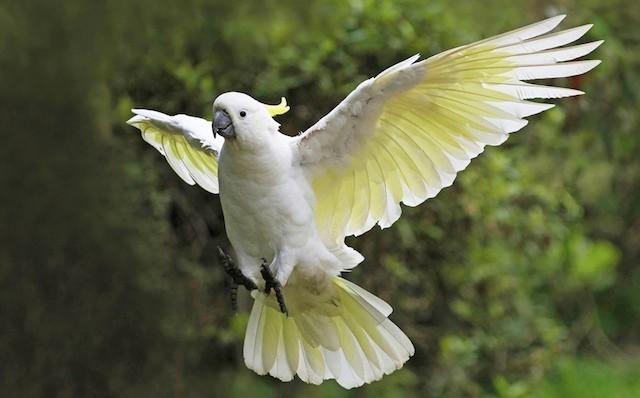 sulphur-crested-cockatoo-2