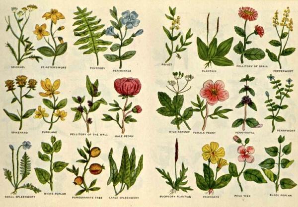 culpeper-herbier-11