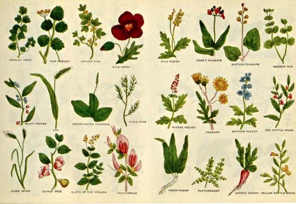 culpeper-herbier-12